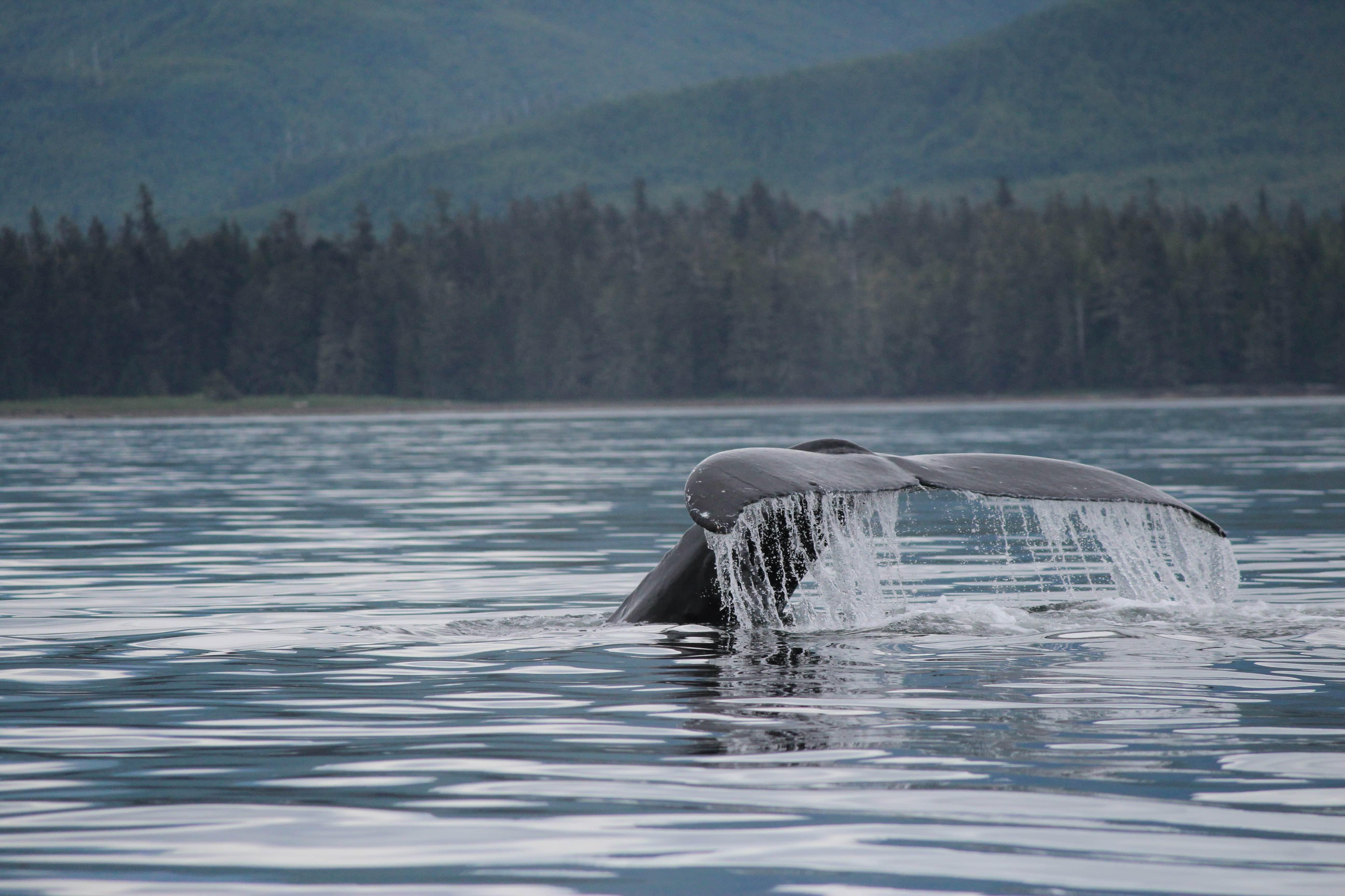 Humpback Tail
