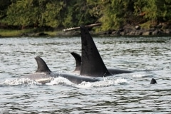 2015-07-04 Orca and Halibut 090 2